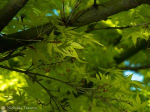Japanese Maple illuminated from below by reflected pond water.