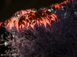 Light filtering through Japanese Red Maple