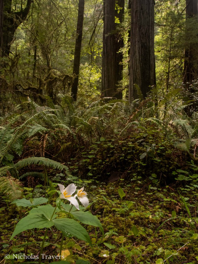 Trillium Flower with fallen redwood log covered in ferns and more redwoods behind on Howland Hill Road