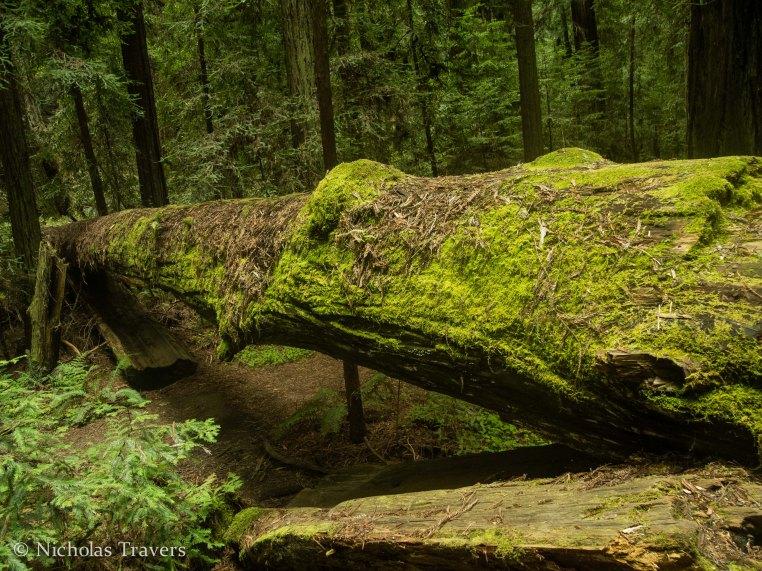 falling redwoods form bridges in Humbolt Redwood State Park