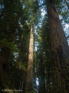 The length of a smaller Coast Redwood in Smith Grove
