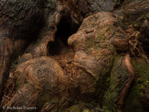 Coast Redwood burl