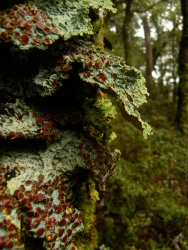 Crazy moss, a lichen likely, with maroon red drops peeling off it as well . both clinging to trees and to rocks.Crazy moss, a lichen likely, with maroon red drops peeling off it as well