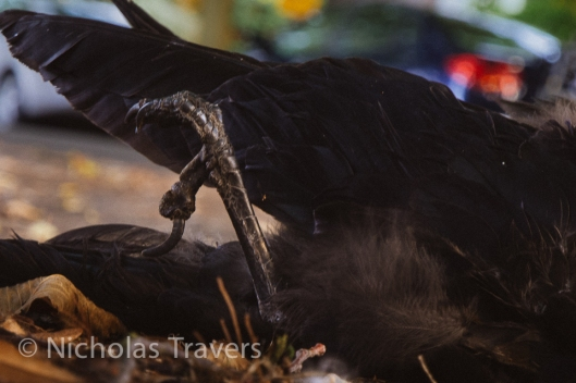 Close composition, uncomfortable, unavoidable, skeletal as in life the claw, soft feathers stirred in a breeze.