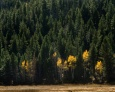 A lone aspen above changes color with it's neighbors, Rocky Mountain National Park