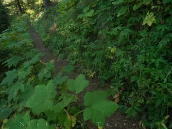 thimbleberry bushes along the PCT