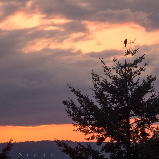 A falcon - raptor sits perched in a  tree above portland, OR as the sun glows orange from siberian fires