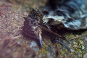dead, perhaps caught by a naighborhood cat, with rumpled feathers matted by rain.