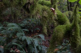 oregon's abundance of moss