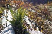 Ferns Returning with vigor