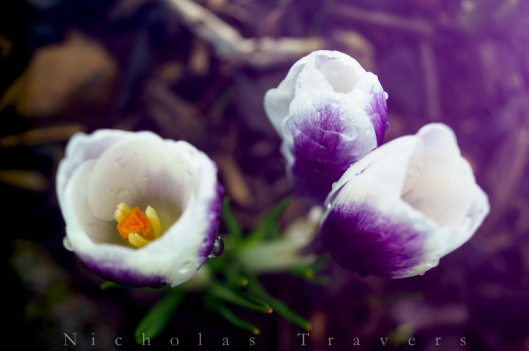 A vibrant Crocus from up the street