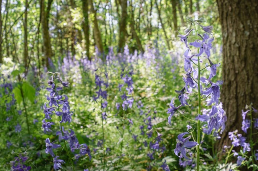 0502_NicholasTravers_Larkspur Forest 2016_04869