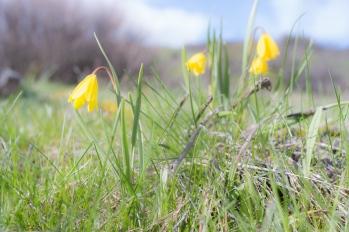 Yellow Bell (Fritillaria pudica)