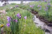 Flowers by the stream. Olsynium douglasii - Satin Flower, Grass