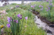 Flowers by the stream. Olsynium douglasii - Satin Flower, Grass
