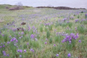 Hillside of Olsynium douglasii - Satin Flower, Grass widow