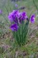Olsynium douglasii - Satin Flower, Grass widow