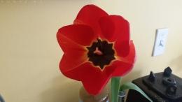 0410_NicholasTravers_Wooden Shoe Tulips_102357