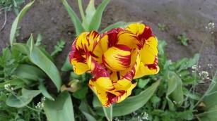 0412_NicholasTravers_Wooden Shoe Tulips_112758