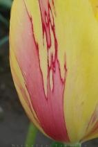 0412_NicholasTravers_Wooden Shoe Tulips_112901