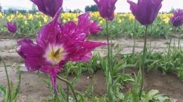 0412_NicholasTravers_Wooden Shoe Tulips_113711