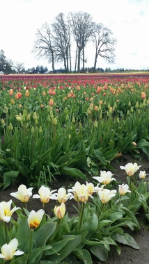 0412_NicholasTravers_Wooden Shoe Tulips_114814