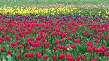 0412_NicholasTravers_Wooden Shoe Tulips_120533