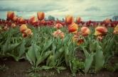0415_NicholasTravers_Wooden Shoe Tulips ec35 kg400_0003