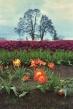 0415_NicholasTravers_Wooden Shoe Tulips ec35 kg400_0005