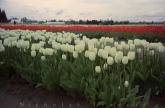 0415_NicholasTravers_Wooden Shoe Tulips ec35 kg400_2